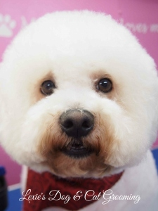 Slinky the Bichon